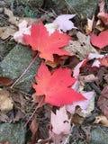 秋天槭树叶子在远足发现了在熊山纽约 免版税图库摄影