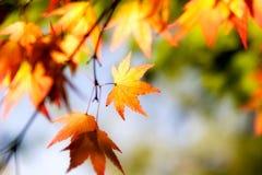 秋天槭树叶子在阳光下 库存图片
