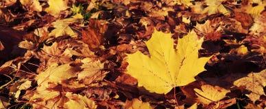 秋天槭树叶子抽象背景  免版税库存照片