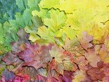 秋天槭树叶子梯度  秋天背景特写镜头上色常春藤叶子橙红 免版税库存照片
