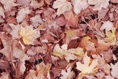 秋天槭树叶子纹理  拍摄在秋天公园 免版税库存照片
