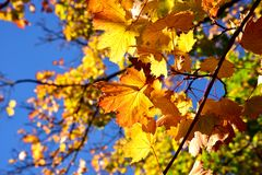 秋天槭树叶子 库存照片