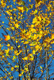 秋天槭树叶子 免版税库存照片