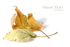 秋天槭树叶子 库存图片