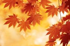 秋天槭树叶子 免版税库存图片