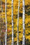 秋天槭树和桦树 免版税库存图片
