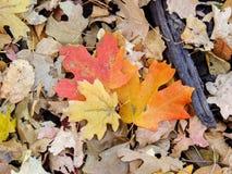 秋天槭树和橡木秋天叶子在罗斯峡谷黄色叉子的森林地板和大岩石足迹上关闭在Oquirrh Mountai 免版税图库摄影