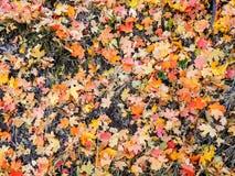秋天槭树和橡木秋天叶子在罗斯峡谷黄色叉子的森林地板和大岩石足迹上关闭在Oquirrh Mountai 库存图片