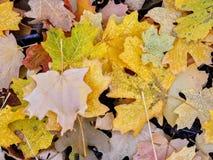 秋天槭树和橡木秋天叶子在罗斯峡谷黄色叉子的森林地板和大岩石足迹上关闭在Oquirrh Mountai 免版税库存图片