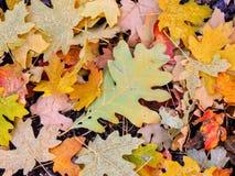 秋天槭树和橡木秋天叶子在罗斯峡谷黄色叉子的森林地板和大岩石足迹上关闭在Oquirrh Mountai 图库摄影