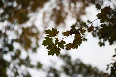 秋天槭树在一个分支的黄色叶子在晚上时间 图库摄影