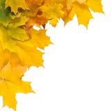 秋天槭树在白色背景隔绝的黄色叶子 库存图片