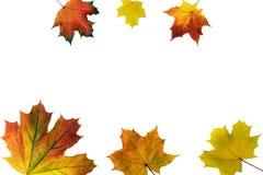 秋天槭树在白色background.autumn背景离开 免版税库存图片