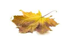 秋天槭树在白色background.autumn背景离开 免版税库存照片