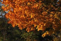 秋天槭树用红色桔子在绿色树背景离开在公园 晴朗的日 库存图片