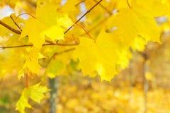 秋天槭树的分支在木头的 库存图片