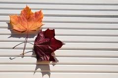 秋天槭树的摄影图象在红色橙黄离开在阳光下在被采取的白色木自然本底南英国英国 免版税库存图片