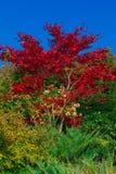 秋天槭树红色 免版税图库摄影