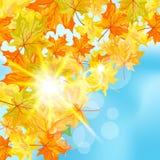 秋天槭树背景 库存图片