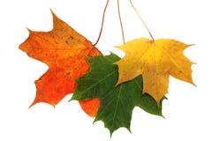 秋天槭树离开一 免版税库存照片