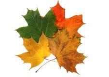 秋天槭树离开三 图库摄影
