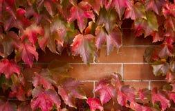 秋天槭树离开与暴露砖墙的开头 免版税库存照片