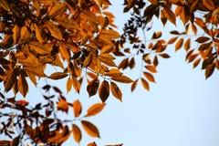 秋天槭树离开发光更加美丽红色,下垂的金黄的叶子 图库摄影