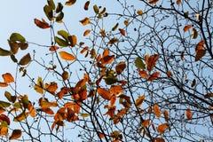 秋天槭树离开发光更加美丽红色,下垂的金黄的叶子 免版税库存图片