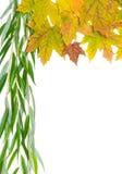秋天槭树离开和在白色背景的杨柳分支 免版税库存图片