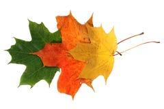 秋天槭树离开四 库存照片