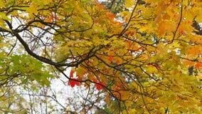 秋天槭树离开摇动 股票录像