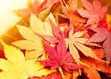 秋天槭树离开背景 免版税图库摄影