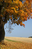 秋天槭树 免版税库存照片