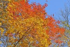 秋天槭树18 库存照片