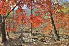 秋天槭树8 免版税库存图片