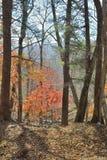 秋天槭树6 库存图片