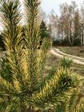 秋天横向 与针被染黄的技巧的杉木  航空蓝色云彩国家(地区)开放全景路西西里岛天空 免版税库存图片