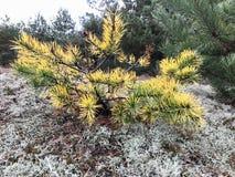 秋天横向 与针被染黄的技巧的杉木  库存照片