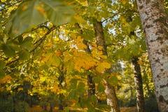 秋天横向 五颜六色的秋天在森林秋天背景中 库存图片