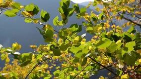 秋天横向 秋天的美好的颜色在10月 在阳光的明亮,桔子,黄色和金黄叶子 下跌的五颜六色的le 股票录像