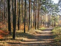 秋天横向 被日光照射了秋天杉木森林 免版税库存图片
