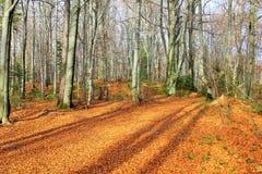 秋天横向 金黄叶子 图库摄影