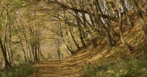 秋天横向 4K 金黄叶子从高老树落在公园或森林,盖用阳光 股票视频