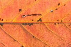 秋天樱桃树叶子细节宏观纹理  免版税库存照片