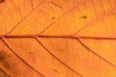 秋天樱桃树叶子细节宏观纹理  免版税库存图片