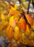 秋天樱桃离开结构树 免版税库存照片