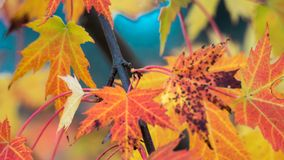秋天橙色枫叶树 免版税库存图片