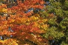 秋天橙黄秋叶的绿色 图库摄影