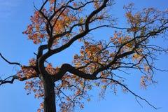 秋天橡木分支  免版税库存照片