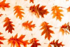 秋天橡木叶子抽象背景  秋天背景特写镜头上色常春藤叶子橙红 免版税图库摄影